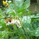 Carolina Sphinx (Tobacco Hornworm)