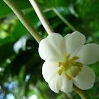 May Apple, Podophyllum peltatum