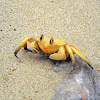Ghost crab of Oman