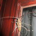 Longhorn Beetle  (Batocera rubus)