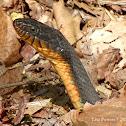 Copper-bellied Watersnake