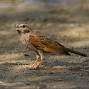 Striolated Bunting