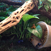 Blue poison dart frog; Yellow-banded poison dart frog