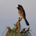 Red Vented Bulbul.