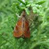 Clethrogyna turbata moth