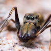 Giant Ant-Mimicking Jumping Spider