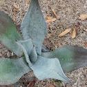 Century Cactus Plant