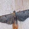 Common Eupithecia.