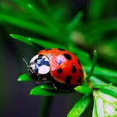 Ladybug HD Live Wallpaper