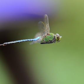 Dragon Flies by Bo Chambers - Animals Insects & Spiders ( flight, flying, fly, insect, dragonfly, bokeh, in flight,  )