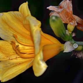 Midas Touch by Alan Hammond - Flowers Single Flower ( single flower, flowers )