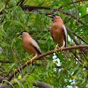 Brahminy Myna (Brahminy Starling)