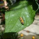 Larva de mariquita