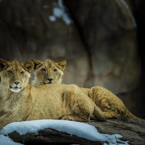 Siblings by Dale Versteegen - Animals Lions, Tigers & Big Cats ( gaze, warmth, cubs, siblings )