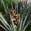 Harriman's yucca