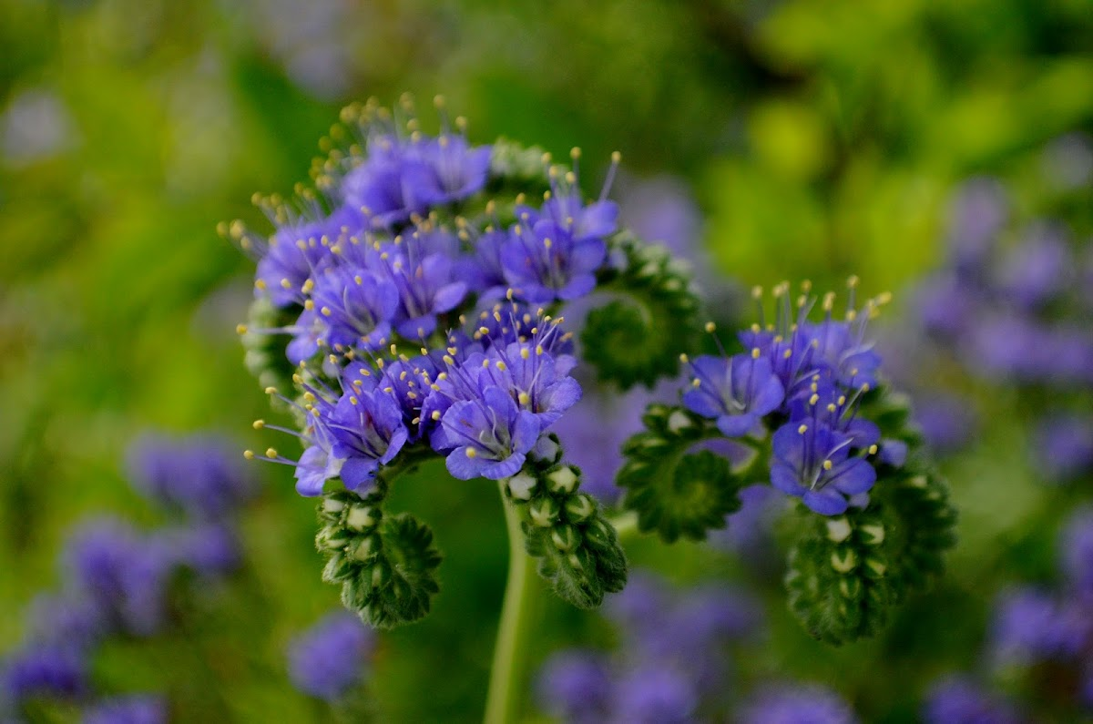Blue Curls wildflower