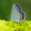 Short-tailed Blue or Tailed Cupid (male)
