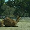 Dromedarius camel