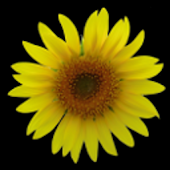 Sunflower LW Free + weather