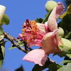 Phillip Island Hibiscus