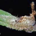 Flanel moth caterpillar