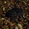 Fowlers Toad