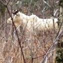 Moose (Albino)