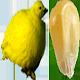 Fat Chick v1.0