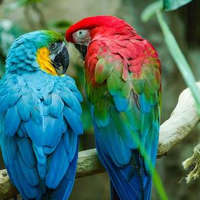 Blue Parrots #1 by Richard Saxon - Animals Birds ( zoo, parrots, january, 2015, denver zoo, birds )