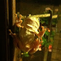 GrayTree Frog