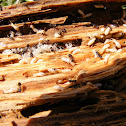 Eastern Subterranean Termite interaction with Ant Invasion
