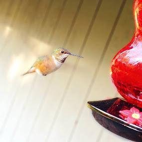 Hummingbird by Hallie Barta - Instagram & Mobile iPhone ( washington, iphone 4s, hummingbird )