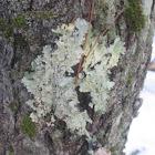 Sea Storm Lichen