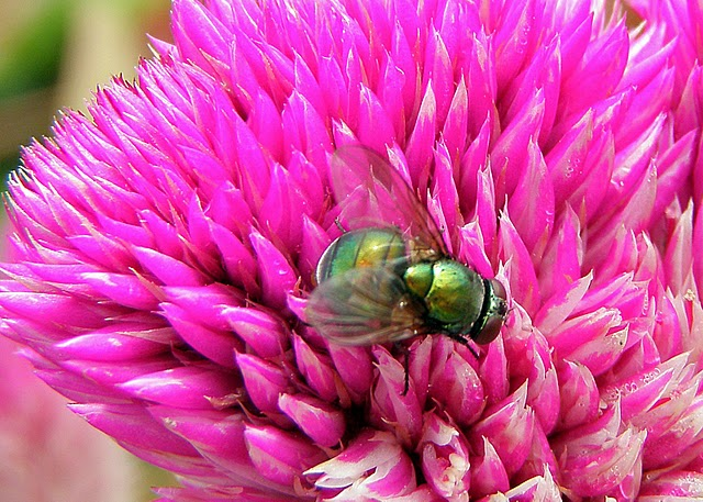 Greenbottles / Blow Fly