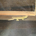 Turnip-tailed Gecko