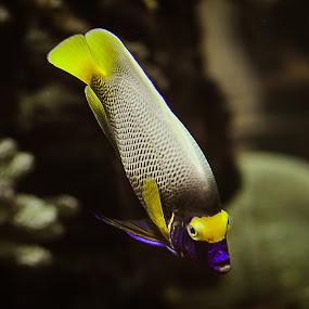 Yellow Blue by Manoj Swaminathan - Animals Fish ( fish, yellow fish )