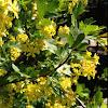 Kultaherukka; Golden currant