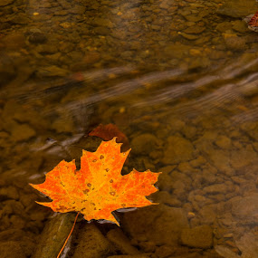 Washing away by Dale Versteegen - Nature Up Close Leaves & Grasses ( stream, autumn, color, fall, leaf, leaves,  )