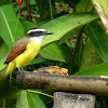 Great Kiskadee (Sirirí)