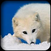 Arctic Fox Wallpapers