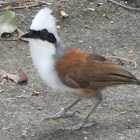 White-crested Laughingthrush, 白冠噪鹛