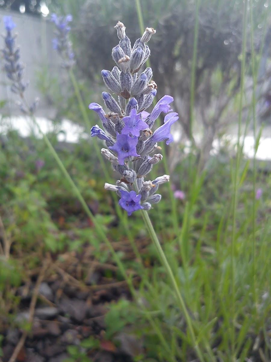 Lavanda (ES)  Lavender (EN)