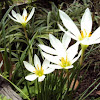 Fairy Lily/White Zephyr Lily/White Rain Lily