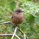 Pied Bushchat(Female)