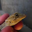 Moorish gecko