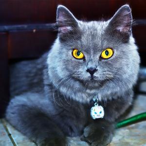 Pixoto Kucing Anggora.jpg