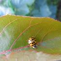 Multicolored Asian Lady Beetle, bubamara