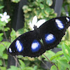 Blue Moon Eggfly