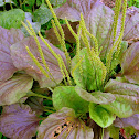 Purple Plantain