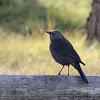 (Female) Brewer's Blackbird